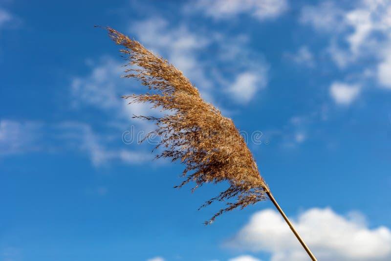 Australis Verbiegen des allgemeines REEDphragmites mit dem Wind lizenzfreies stockfoto