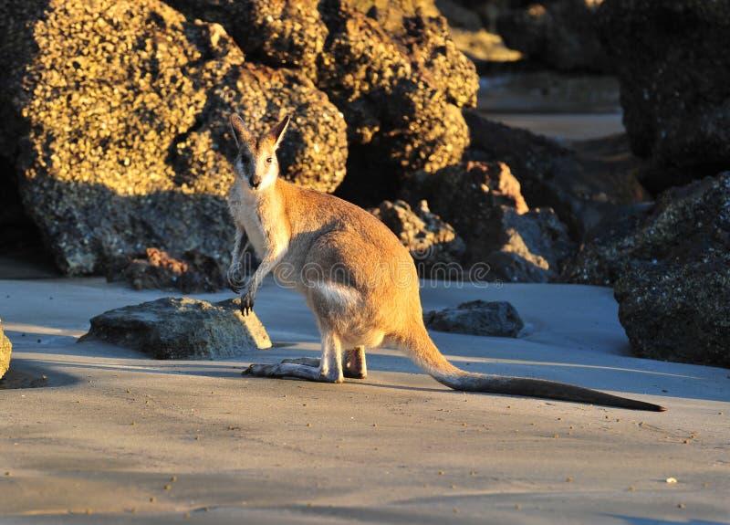 Australisch behendig mackay wallabystrand, Queensland stock foto
