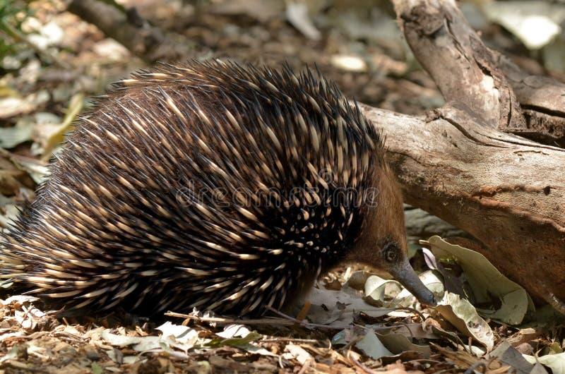 Australisch Echidna-onderzoek naar foodin de struik royalty-vrije stock afbeeldingen