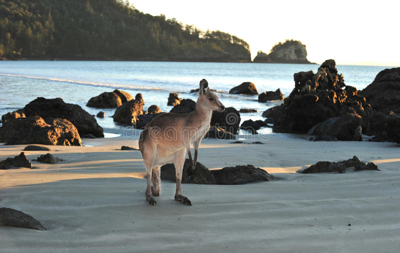 Australisch oostelijk grijs mackay kangoeroestrand, stock afbeeldingen