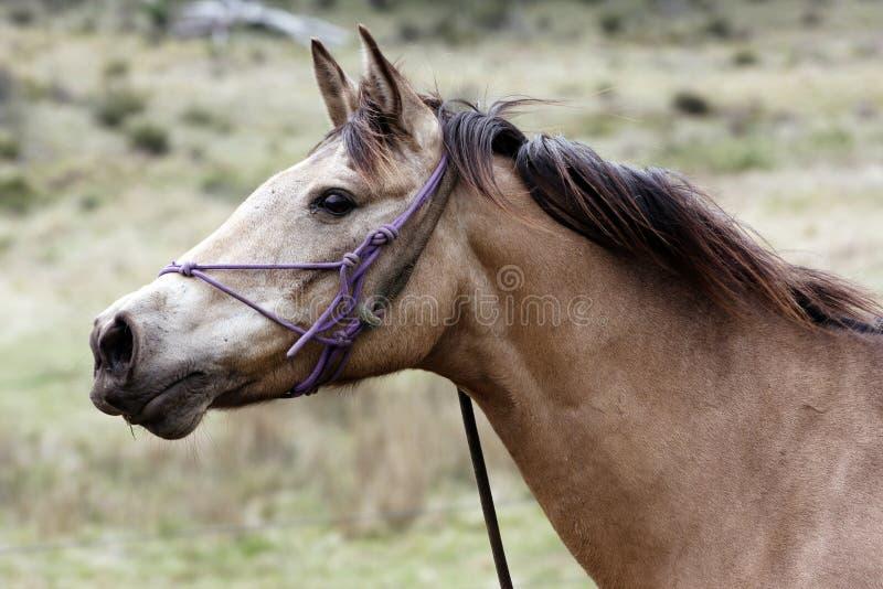 Australisch Paard in de Struik royalty-vrije stock fotografie