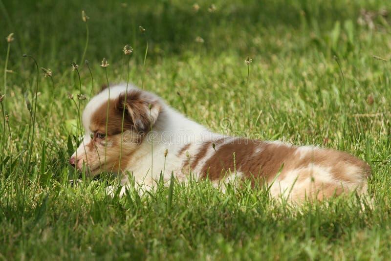 Australisch puppy stock afbeelding