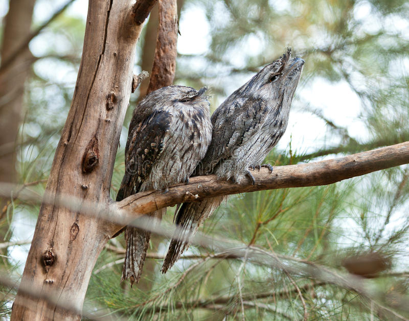Australisch Tawny Frogmouth royalty-vrije stock afbeelding