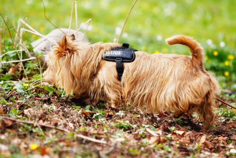 Australisch Terrier royalty-vrije stock foto