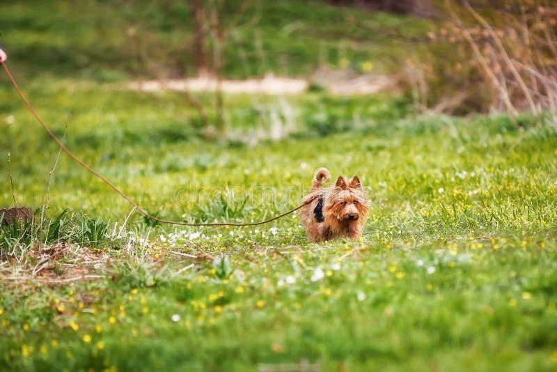 Australisch Terrier stock fotografie