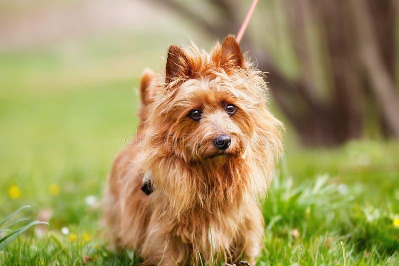 Australisch Terrier stock afbeelding