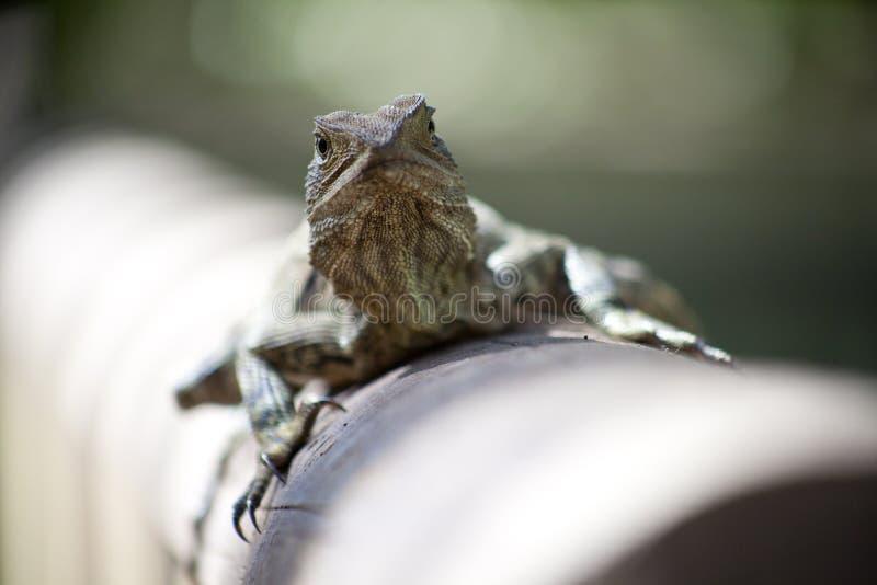 Australisch Water Dragon Lizard royalty-vrije stock afbeelding
