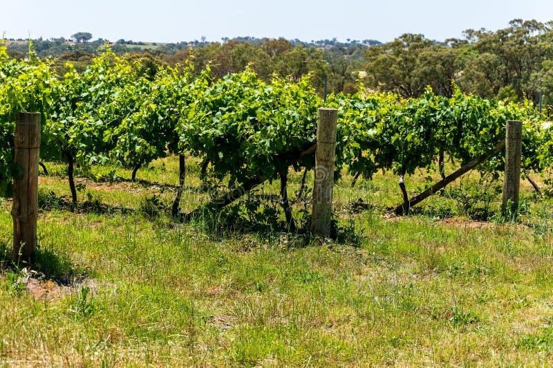 Australisch Wijngaardlandschap stock afbeelding