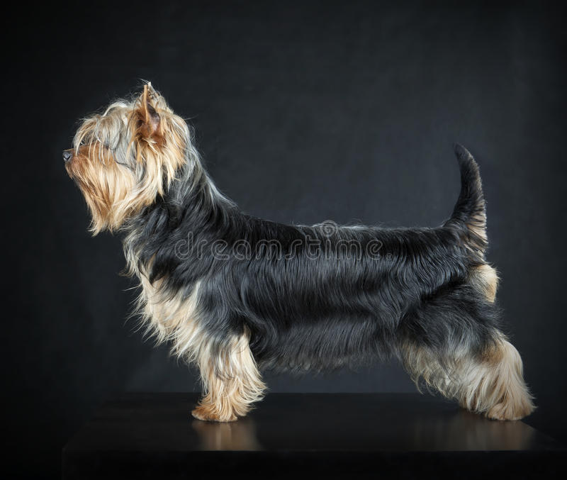 Australisch Zijdeachtig Terrier royalty-vrije stock foto's