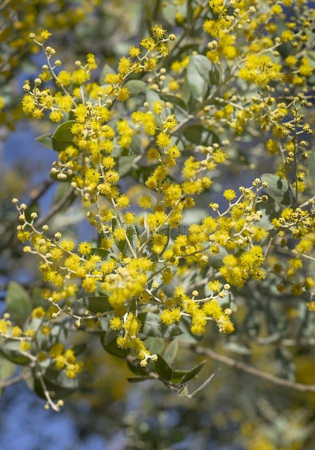 Australische acaciabloemen stock foto's