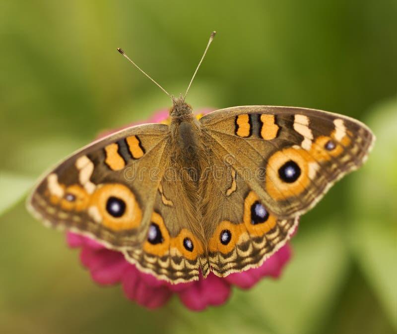 Australische argus Junonia van de vlinderWeide villida stock foto
