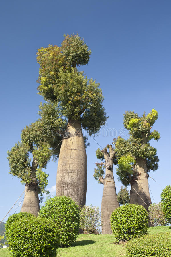 Australische baobabbomen in botanische tuin royalty-vrije stock foto