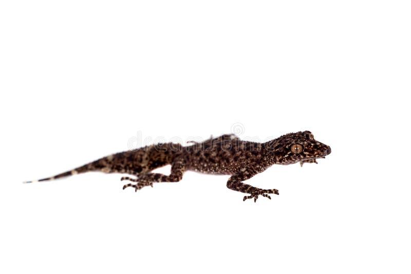 Australische blad-de steel verwijderde van gekko's op wit stock foto