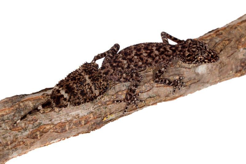 Australische blad-de steel verwijderde van gekko's op wit stock afbeelding
