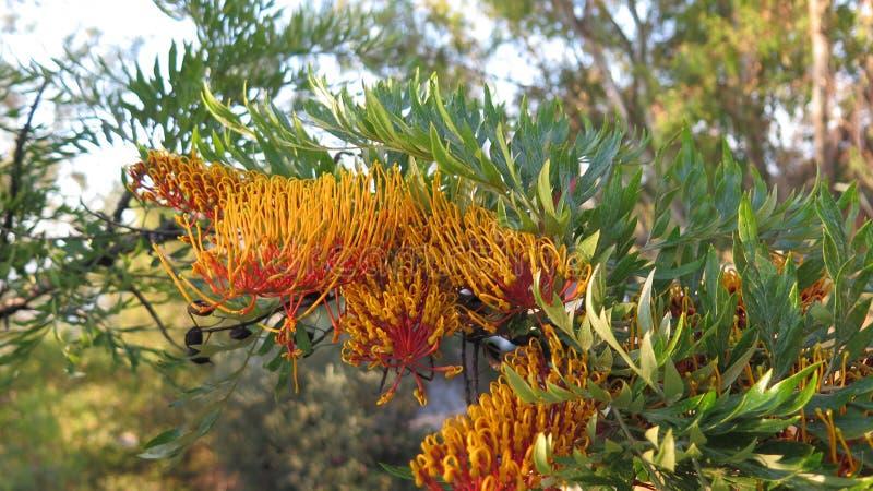 Australische Blumen silberner Eiche Grevillea stockfotos
