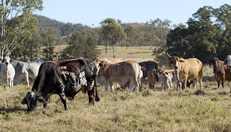 Australische brindled Kuh, Rindfleischrinderherde lizenzfreies stockbild