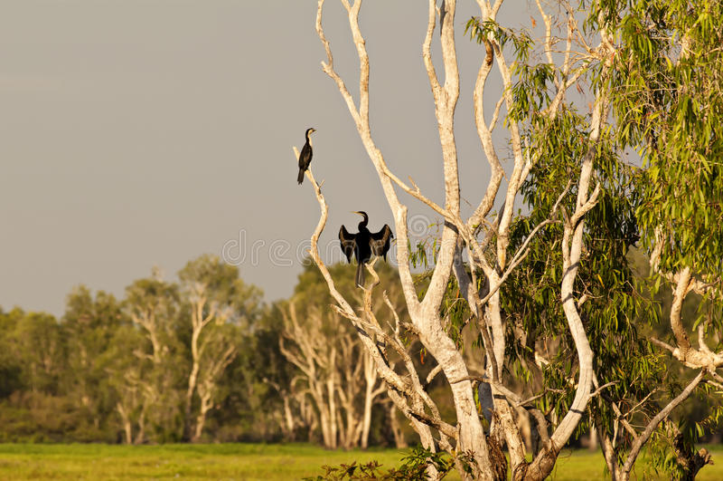 Australische Darter royalty-vrije stock fotografie