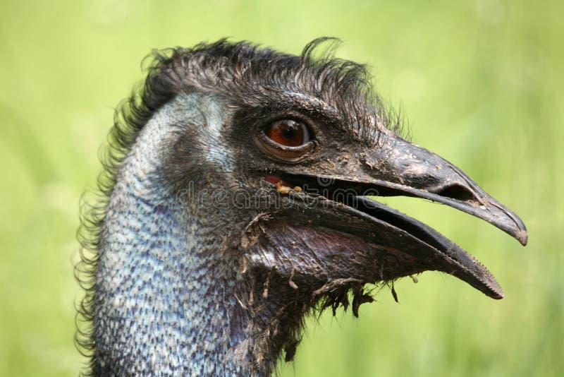 Australische Emoe royalty-vrije stock foto's