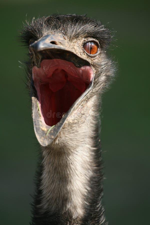 Australische Emoe stock afbeeldingen