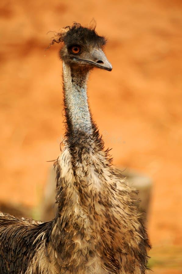 Australische Emoe stock fotografie