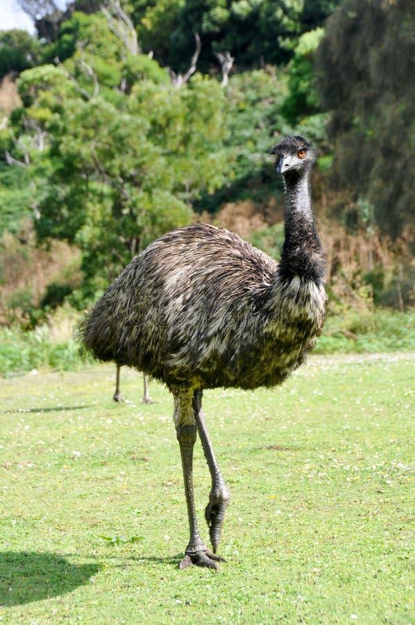 Australische emoe bij het wildreserve van de Heuvel van de Toren stock afbeelding