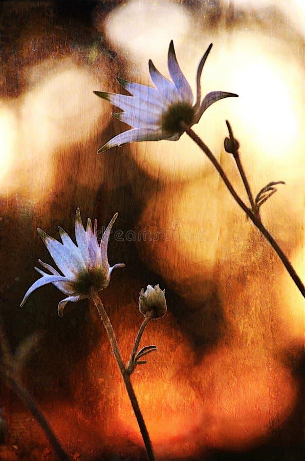 Australische Flanell-Blumen, die den Sonnenuntergang aufpassen vektor abbildung