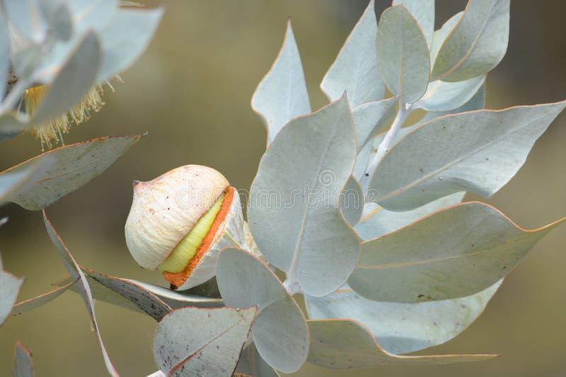 Australische gelbe gerade öffnende Blumenhülse lizenzfreie stockbilder