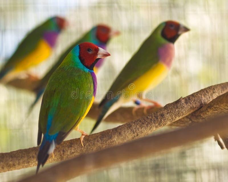 Australische gouldian vink inheemse vogels royalty-vrije stock afbeeldingen