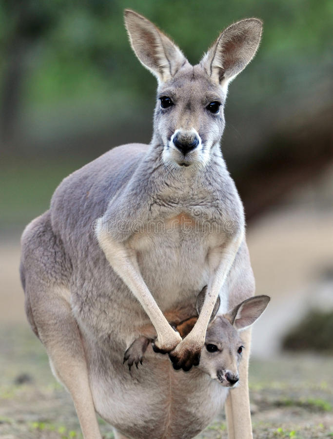 Australische grijze kangoeroe met baby/joey in zak royalty-vrije stock foto