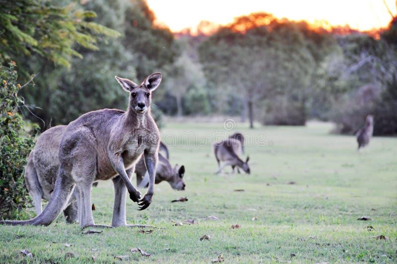 Australische grijze kangoeroes die op de verse paddock van het graslandbouwbedrijf weiden stock foto's