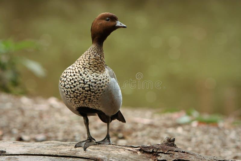 Australische hölzerne Ente im wilden. stockbild