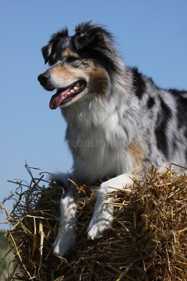 Australische Herder royalty-vrije stock afbeelding