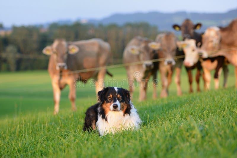 Australische Herder stock afbeelding