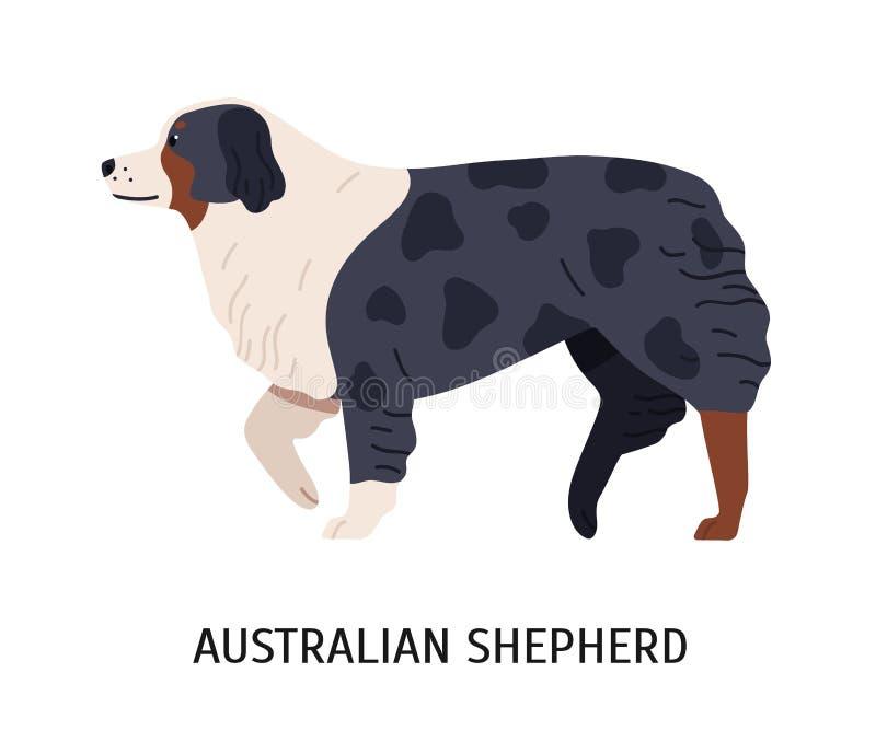 Australische Herder of Aussie Leuke rasechte die het hoeden hond of herdershond op witte achtergrond wordt geïsoleerd Mooie binne stock illustratie