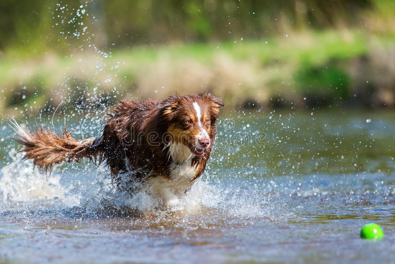 Australische Herdershond die in de rivier lopen stock fotografie