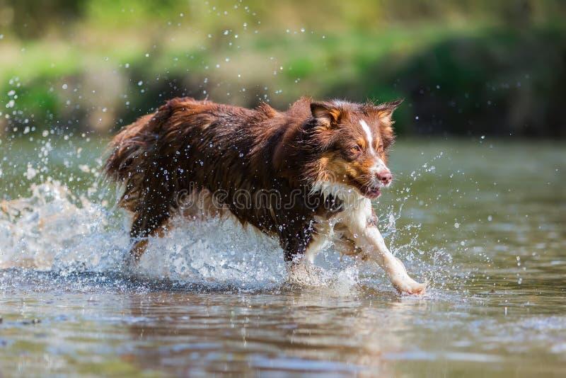 Australische Herdershond die in de rivier lopen stock foto's