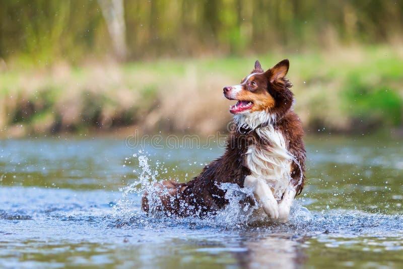 Australische Herdershond die in een rivier lopen stock afbeeldingen