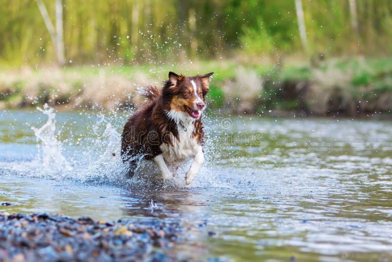 Australische Herdershond die in een rivier lopen royalty-vrije stock foto's