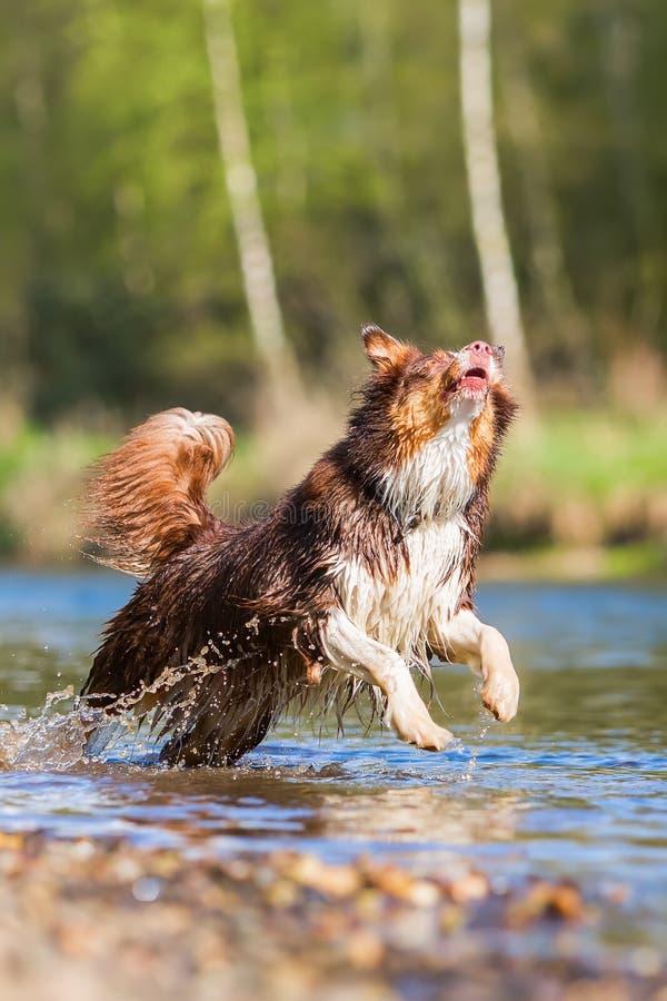 Australische Herdershond die in het water lopen stock foto