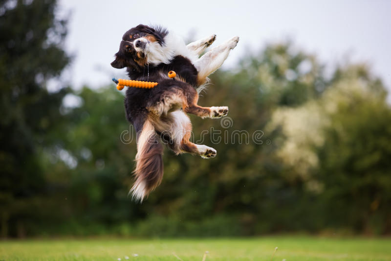 Australische Herdershond die voor een stuk speelgoed springen royalty-vrije stock fotografie