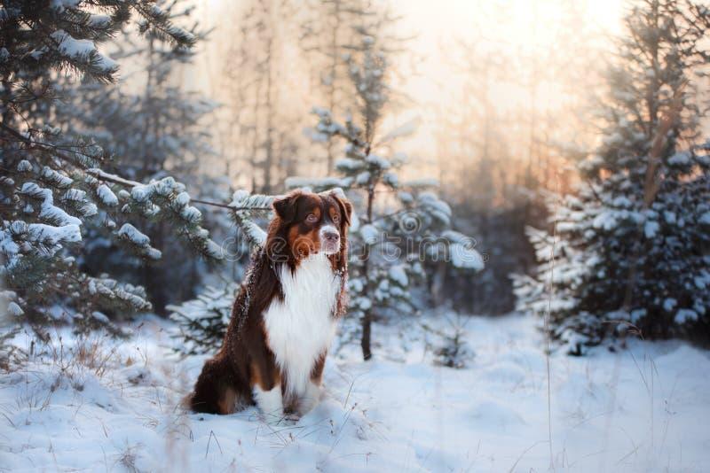 Australische Herdershond in openlucht in de sneeuw in de winter royalty-vrije stock afbeelding