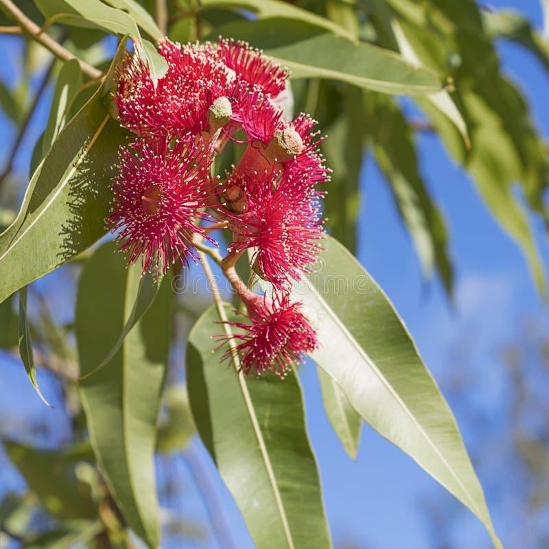 Australische iconische rode gombloemen royalty-vrije stock fotografie