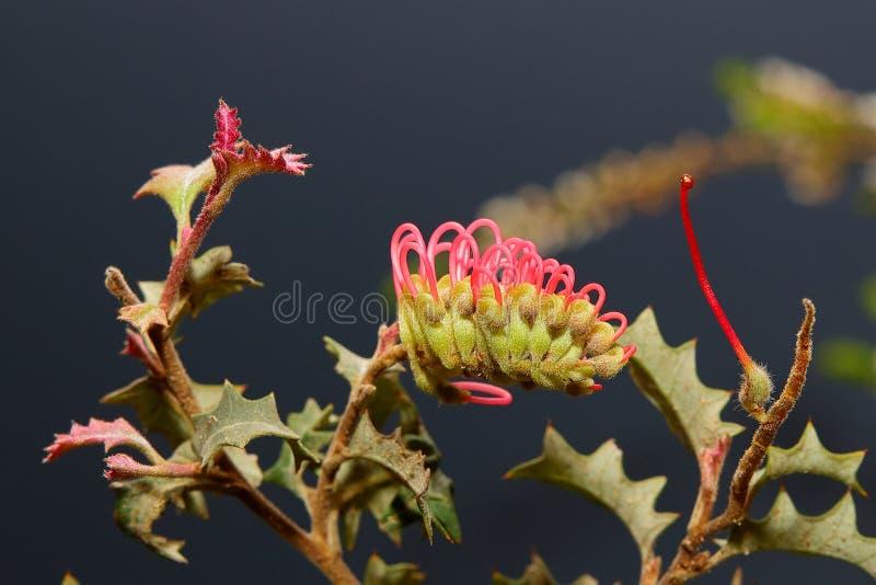 Australische inwoner wildflower - Grevillia stock afbeeldingen