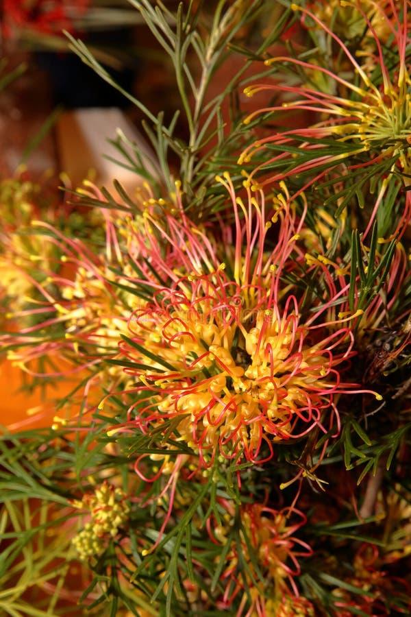 Australische inwoner wildflower - Grevillia stock foto