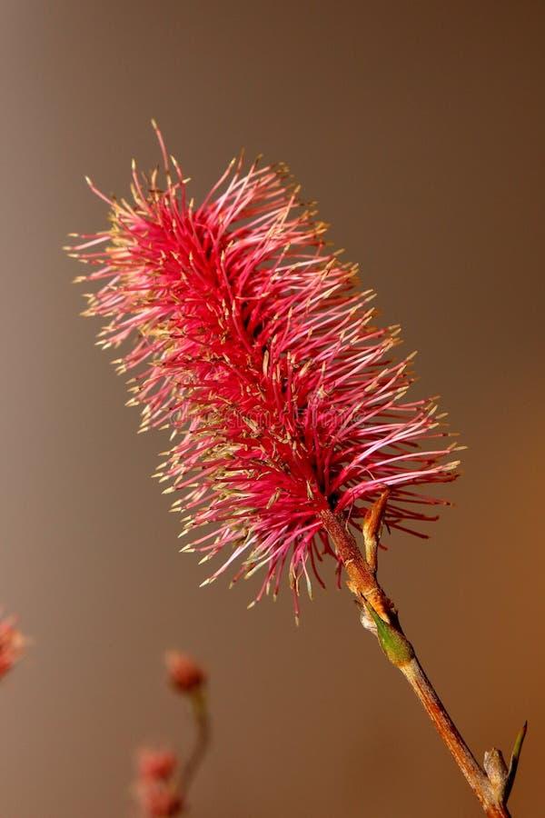 Australische inwoner wildflower - Grevillia royalty-vrije stock fotografie