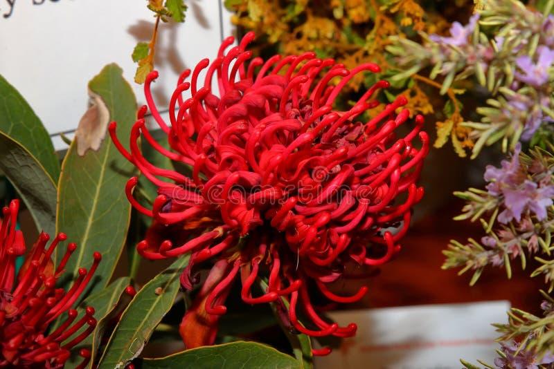 Australische inwoner wildflower - Grevillia royalty-vrije stock foto