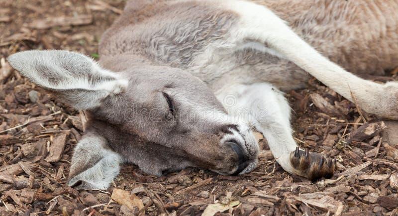 Australische kangoeroe stock fotografie