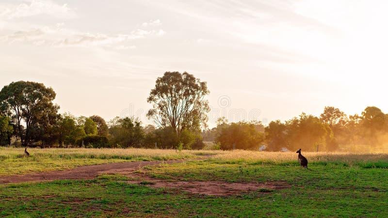 Australische Kangoeroe op een Gebied bij Zonsondergang stock foto