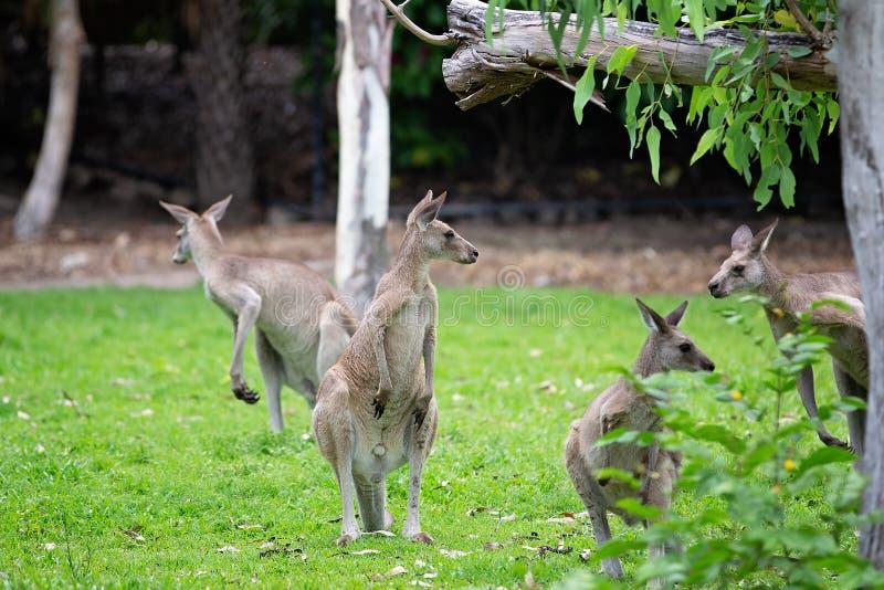 Australische Kangoeroes in een Park stock foto