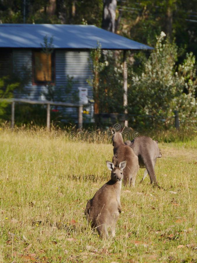Australische Kangoeroes in het gras royalty-vrije stock foto's